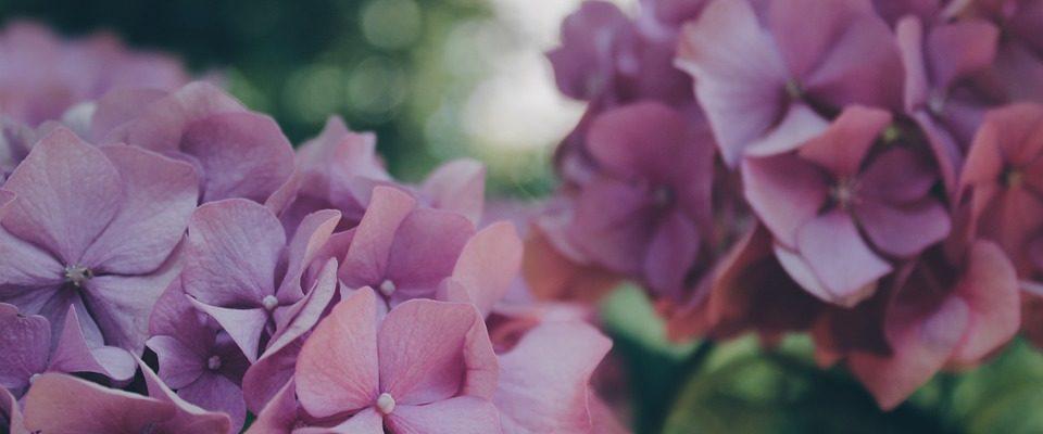 Hortenzie, pýcha zahrady