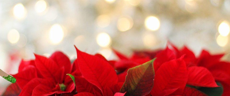 Péče o vánoční květiny