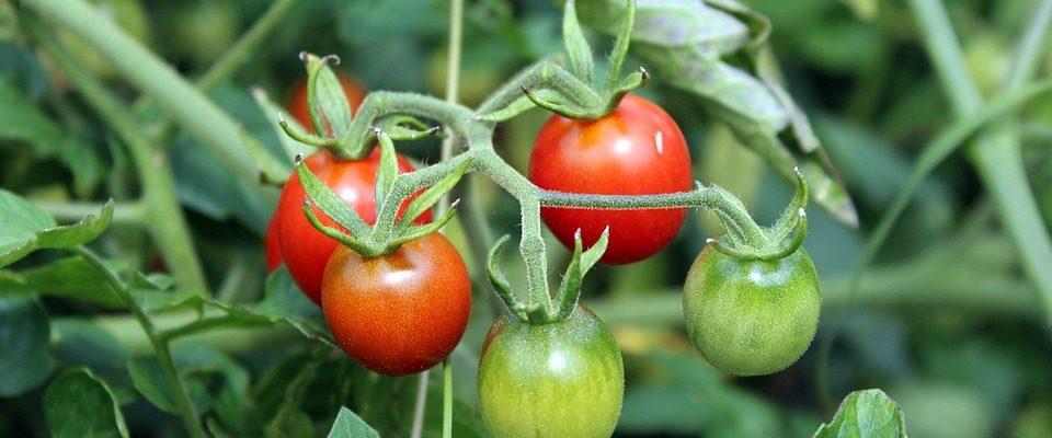 Co hrozí při pěstování rajčat?