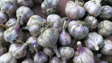 Jaké druhy česneku jsou nejlepší pro pěstování?