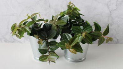 Pokojové rostliny, které zvládnou každého začátečníka