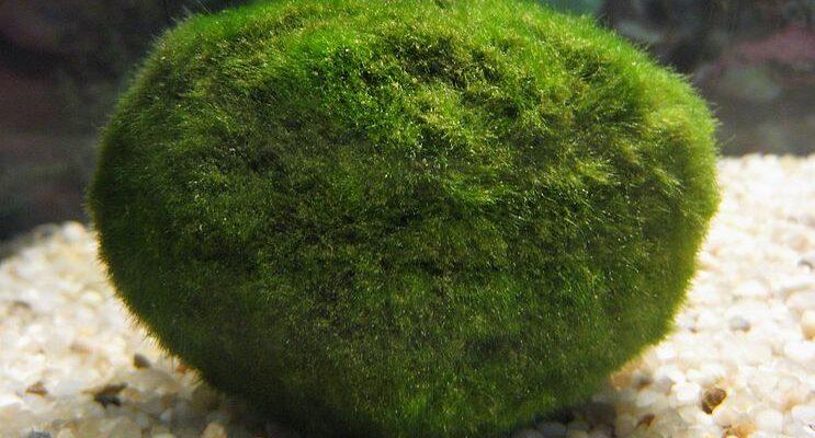 Řasokoule patří do moderní domácnosti. Je to rostlina nebo domácí mazlíček?