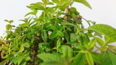 Vietnamský koriandr můžete pěstovat i jako pokojovku. Jak na to?