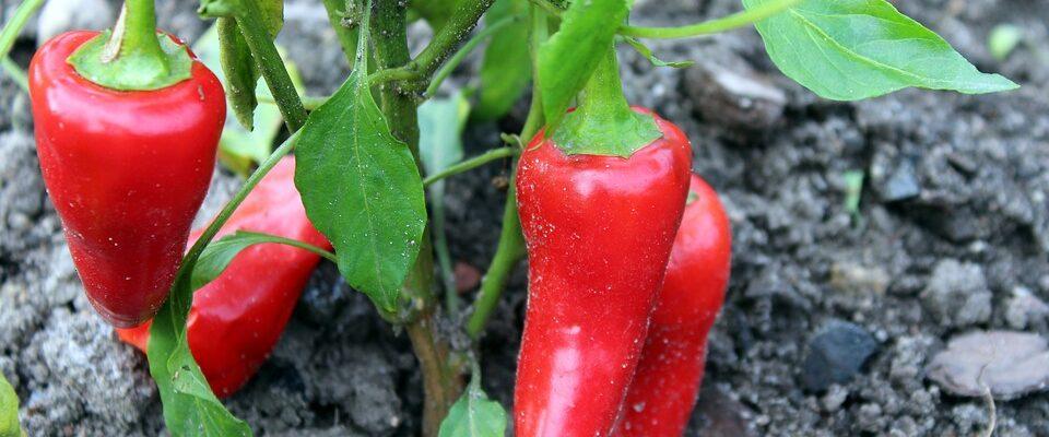 Chcete si letos vypěstovat vlastní papriky? Pravidla, kterými se řídit